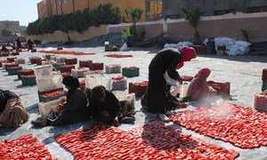 Sun drying tomatoes by local women in Luxor, Egypt, as part of the United Nations Food and Agriculture Organization's (FAO) activities on reducing food loss along the tomato value chain.