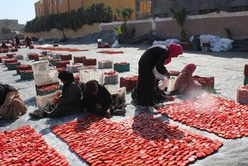 تجفيف الطماطم عن طريق أشعة الشمس من قبل النساء المحليات في الأقصر، مصر، كجزء من أنشطة منظمة الأمم المتحدة للأغذية والزراعة (الفاو) في للحد من فقدان الأغذية.