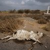 A dead cow lies beside the main road leading out of the port town of Al Hudaydah. Locals tend to avoid dead carcasses as some have been known to be filled with Improvised Explosive Devices (IED).