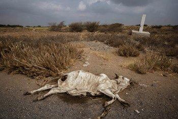 一头死牛躺在通往港口城镇荷台达的主干道旁边。当地人倾向于避开死尸,因为可能充满了简易爆炸装置(IED)。