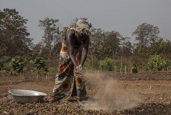 中非共和国瓦卡省的百姓正在田里劳作。