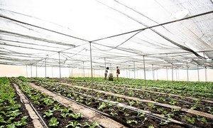 Óscar Santos explicou ainda que, em parceria com a FAO, a Câmara Municipal promove a micro-jardinagem junto das comunidades.