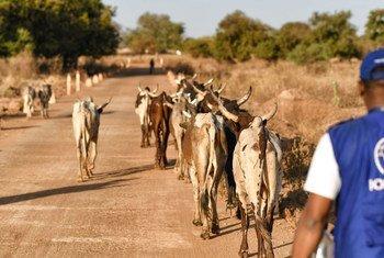 L'Organisation internationale pour les migrations (OIM), en collaboration avec le gouvernement du Burkina Faso et avec un financement de l'Union européenne, soutient la création de groupes d'éleveurs de bétail au Burkina Faso.