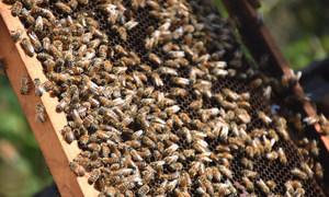 Abelhas são as mais conhecidas entre polinizadores, com mais de 20 mil espécies