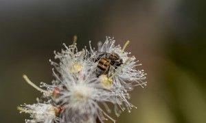 Une abeille collectant du pollen et du nectar est posée sur une fleur d'eucalyptus à la station de recherche forestière de Chesa à Bulawayo, au Zimbabwe.
