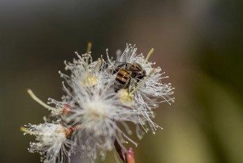 ज़िम्बाब्वे के बुलावायो में पराग रस एकत्र कर रही एक मधुमक्खी.