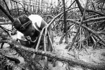 La Asociación de Mujeres Piangüeras del Río Naya extraen las ¨piangüas¨ del manglar, unos pequeños moluscos parecidos a las ostras.