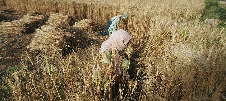 Le prix des céréales a augmenté de 2% en septembre tout particulièrement le blé