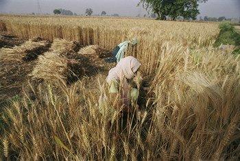 Des femmes récoltent du blé, au Bangladesh.