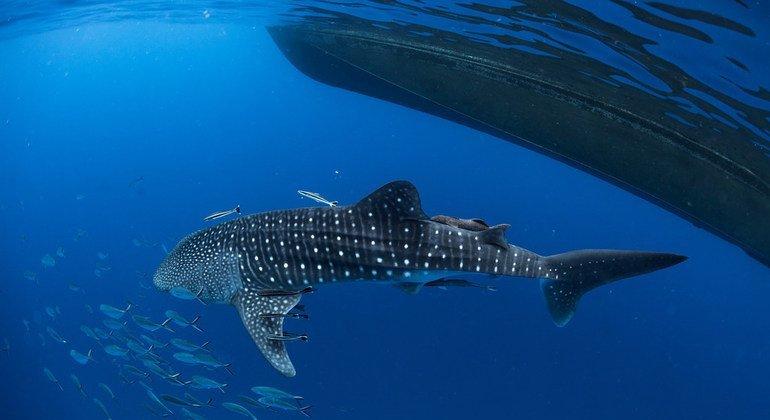 """Un tiburón ballena en el sur de Tailandia. El tema de este año para el Día Mundial de la Vida Silvestres es """"La vida subacuática, para las personas y el planeta"""""""