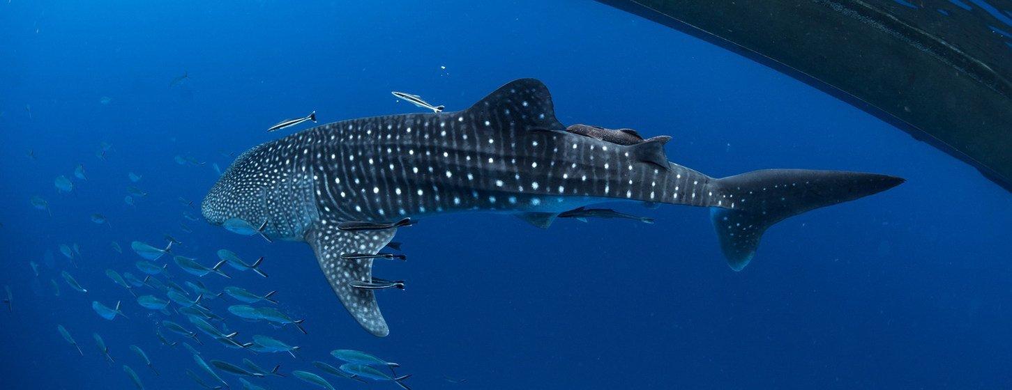 Tubarão baleia no sul da Tailândia