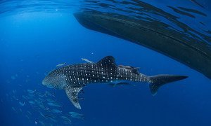 Whale shark in southern Thailand. The theme of the world wildlife day is: 'Life below water: for people and planet'
