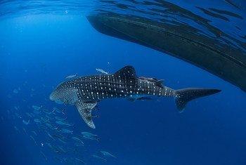 生活在泰国南部海域的鲸鲨。