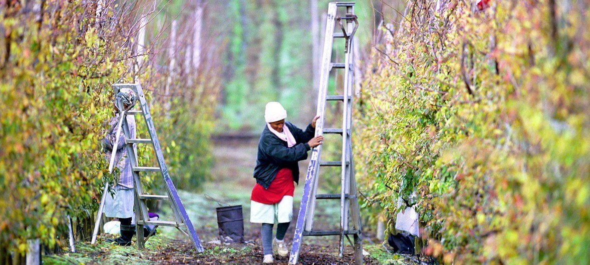 Worker pruning fruit trees in South Africa.