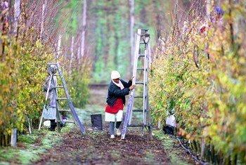 南非的工人在修剪果树。