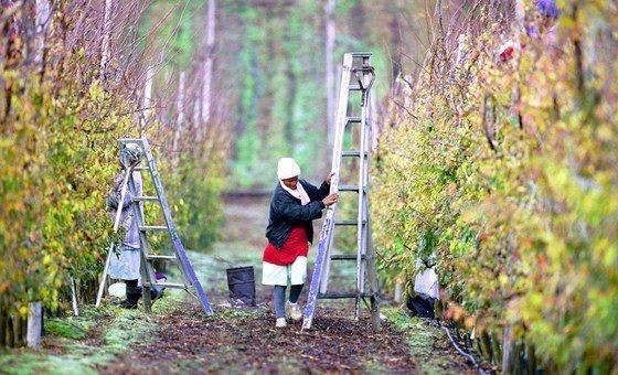 南非的工人在修剪果樹。