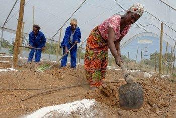 Wanawake katika jimbo la Copperbelt nchini Zambia wanaofanya kazi katika mfumo wa kilimo bora wanaongeza uzalishaji wa mbogamboga wanaouza katika masoko ya wenyeji( kutoka maktaba 2015)