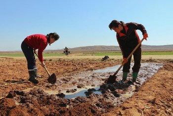 朝鲜黄海南道信川郡,农民正在准备种植玉米。