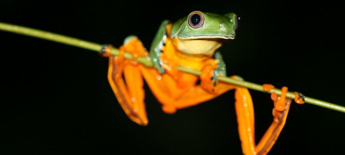 Splendid Leaf Frog, Ecuador. (19 January 2015)