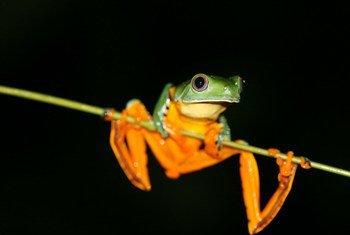 Cruziohyla calcarifer est une espèce d'amphibiens que l'on rencontre au Honduras, au Nicaragua, au Costa Rica, au Panamá, en Colombie, et dans le nord-ouest de l'Équateur.