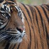 Sumatran tigers are found only on the Indonesian island of Sumatra, where less than 400 exist today.
