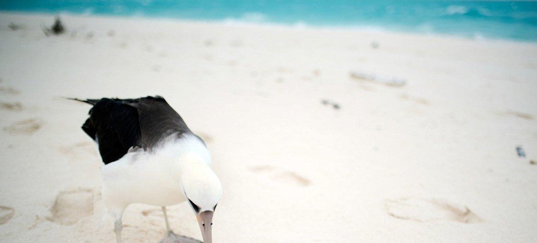 La contaminación plástica es dañina para el Albatros. Muchos consumen desechos pensando que son comida y mueren de inanición.