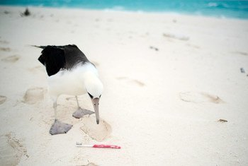 Plastic pollution is harmful to the Albatross bird. Many of them accidentally eat plastic and other marine debris floating in the ocean, mistaking it for food.