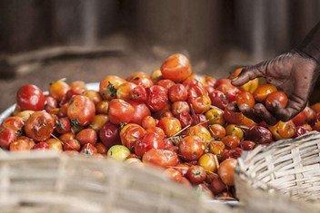 据联合国估计,全球每年有近三分之一的食物在从生产到消费的过程中受到损失或浪费。