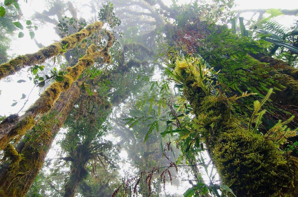 Les rares forêts nuageuses de la Papouasie-Nouvelle-Guinée sont une forêt tropicale de haute altitude caractérisée par une faible couverture nuageuse. (14 juin 2011)