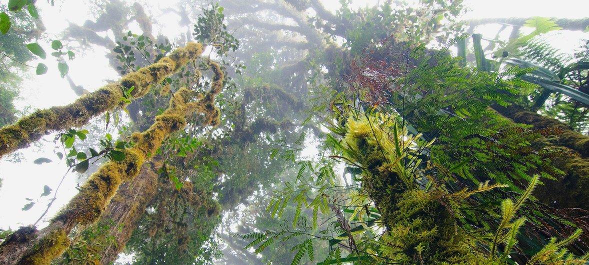 पपुआ न्यू गिनी के दुर्लभ जंगलों में बहुँत ऊँचे पेड़ हैं जिनसे बारिश में मदद मिलती है और इन जंगलों को पर्यावरण के अनुकूल माना जाता है. (फ़ाइल फ़ोटो)