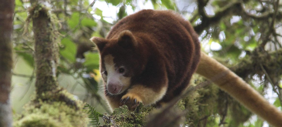 In Papua New Guinea, local communities and conservation groups are fighting to save the tree kangaroo. (file August 2010)