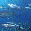 Les thons peuvent vivre dans les eaux froides au large de Terre-Neuve (Canada), ainsi que dans les eaux tropicales du golfe du Mexique et de la mer Méditerranée