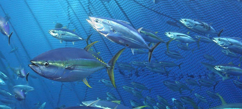 Um terço dos estoques globais de peixes é capturado acima dos níveis biologicamente sustentáveis.