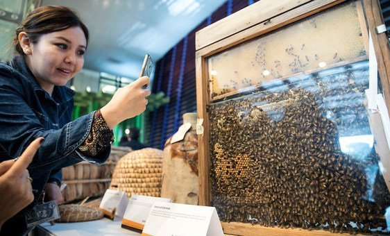 A participant at World Bee Day, held at FAO headquarters in Rome to raise awareness on the role of bees and pollinators in food and agriculture, captures a photo of a bee observation hive. (20 May 2019)