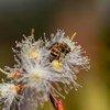"""联合国大会于2017年通过决议,决定将18世纪斯洛文尼亚现代养蜂技术先驱安东·扬沙的生日5月20日定为""""世界蜜蜂日""""。"""