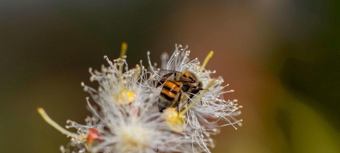 यूकेलिप्टस के फूल पर बैठकर पराग कणों को एकत्र करती मधुमक्खी.