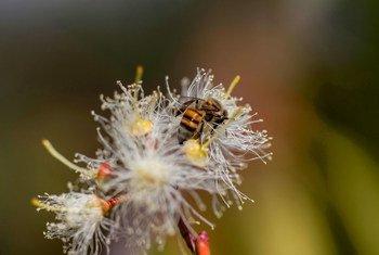 Une abeille ramassant du pollen et du nectar sur une fleur d'eucalyptus à la station de recherche forestière de Chesa à Bulawayo, au Zimbabwe. (12 mai 2017)