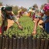 تعمل نساء في مشاتل الأشجار التي تم إنشاؤها في قرية كوييلي ألفا، بالسنغال، كجزء من مبادرة الجدار الأخضر الكبير، وذلك من أجل تحسين الظروف المعيشية للسكان، وتحسين حفظ التنوع البيولوجي وتعزيز استدامة الأرض.