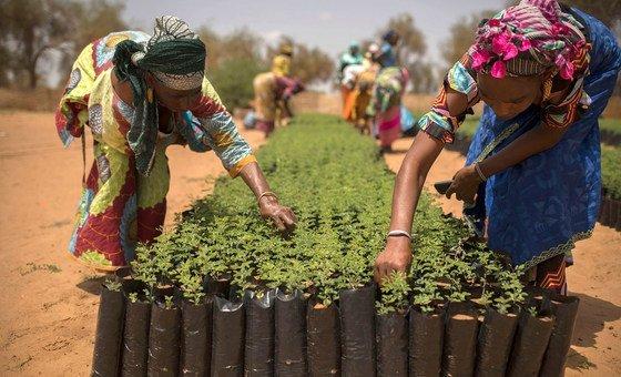 A Koyli Alpha, au Sénégal, des femmes travaillent dans des pépinières créées dans le village dans le cadre de l'initiative de la Grande muraille verte.