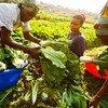 Produtores e processadores locais ajudam a tornar os sistemas alimentares mais inclusivos e mais eficientes.