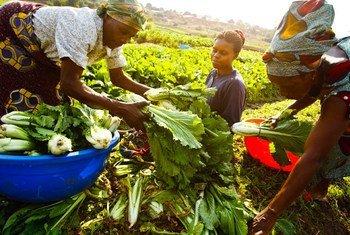 Wakulima katika Jamhuri ya Kidemokrasia ya Congo wakivuna mbogamboga