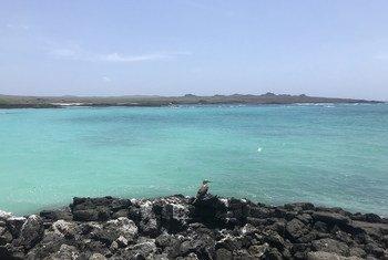 Un piquero patas azules en la costa de Rosa Blanca en la Isla de Cristóbal en Galápagos, Ecuador.
