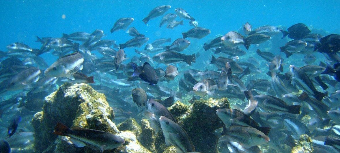 加勒比海的博内尔岛珊瑚礁恢复工程。