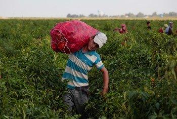 Le travail des enfants est particulièrement prévalent dans l'agriculture.