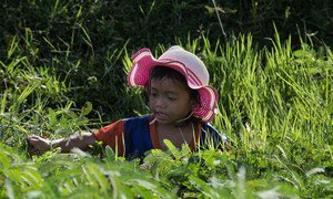 A four-year-old girl in Cambodia works in a field collecting water mimosa. (file 2017)