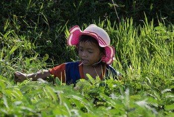 一名四岁的柬埔寨女童正在田间采集可供食用的水合欢。