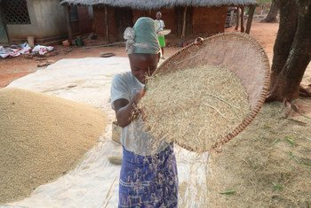 Mama kichuja mchele nchini Madagascar.