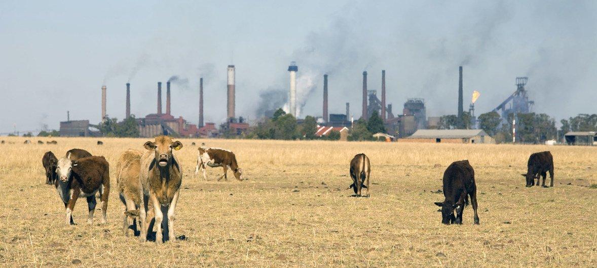 Las industrias y la ganadería generan gases de efecto invernadero que causan el calentamiento global.