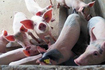 La peste porcine africaine est une maladie très contagieuse qui peut avoir un impact dévastateur sur les petits éleveurs de porcs.