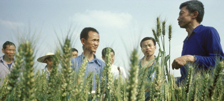 1985年,粮农组织技术人员向中国四川双流镇的农民展示改良的小麦品种。